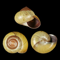 Asperitas trochus selayerensis