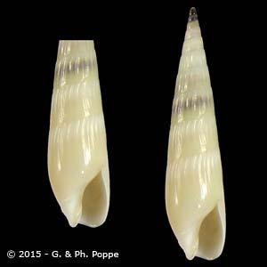 Impages bacillus