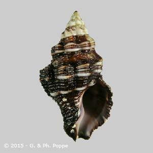 Peristernia castanoleuca