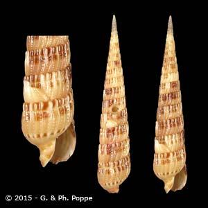 Hastulopsis pseudopertusa