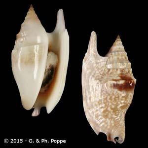 Euprotomus bulla SPOTTED