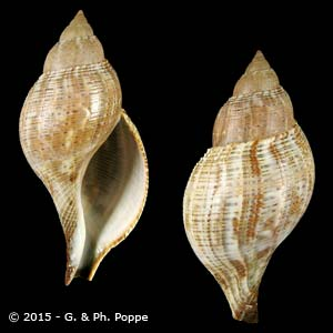 Fasciolaria tulipa tulipa