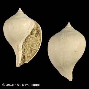 Pyrula bulbiformis FOSSIL