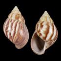 Achatina fulica f. sinistrosa