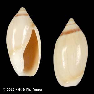 Ancilla adelphe