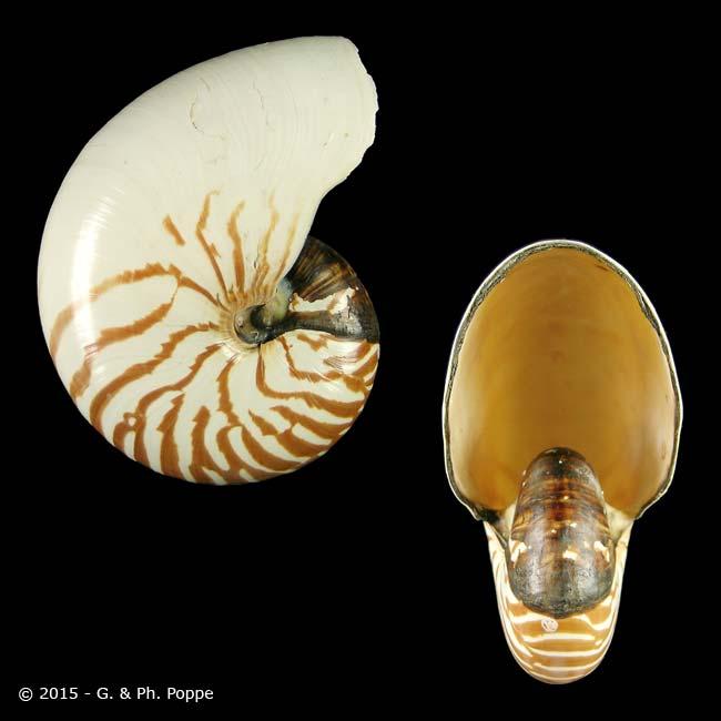 Nautilus pompilius f. suluensis