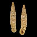 Agathylla biloba f. dabovici