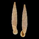 Agathylla exarata mostarensis