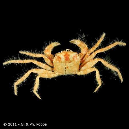 Pilumnus species 001