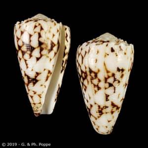 Conus bandanus FAKE