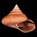 Bayerotrochus poppei