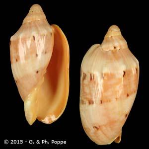 Cymbiola malayensis