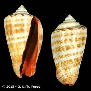 Conomurex luhuanus BANDED