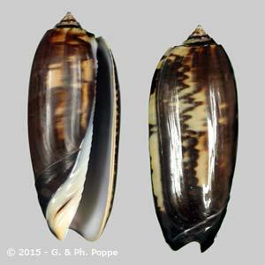 Oliva miniacea tremulina f. tenebrosa