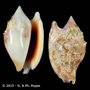 Euprotomus bulla LARGE