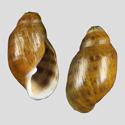 Chilina ilanguihuensis