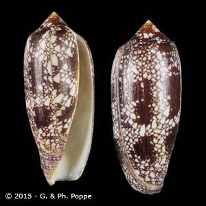 Darioconus aulicus f. aurantia SMALL TENTS