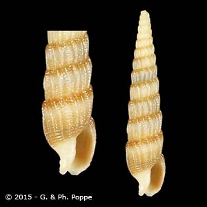 Clathroterebra poppei