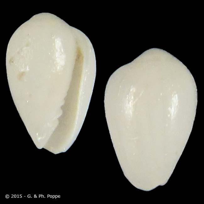 Gibberula philippii