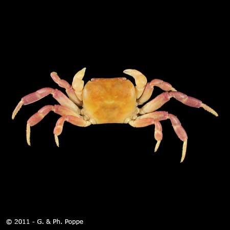 Cyclograpsus lucidus
