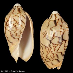 Cymbiola vespertilio f. sulcata