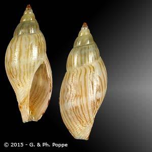 Daphnella graminea