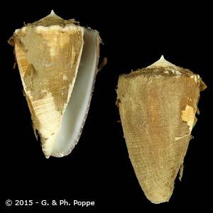 Asprella sulcatus f. bocki PERIO