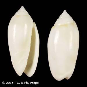 Oliva amethystina f. alba