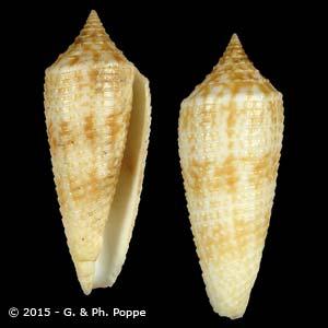 Asprella australis duplicatus
