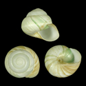 Asperitas bimaensis cochlostyliodes
