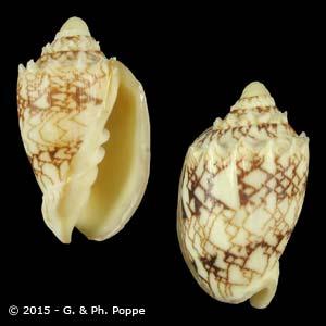 Cymbiola chrysostoma