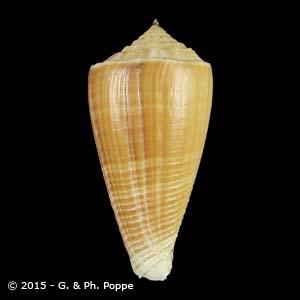 Asprella sulcatus f. brettinghami GIANT