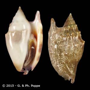 Euprotomus bulla SPECIAL FORM