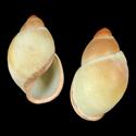 Megalobulimus forelli