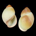 Megalobulimus paranaguensis