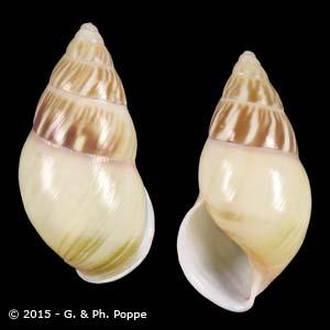Amphidromus quadrasi f. solidus GUIMBA CREAM