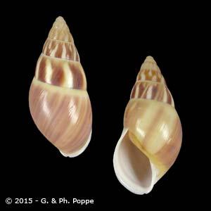 Amphidromus quadrasi f. solidus GUIMBA SPECIAL COLOR