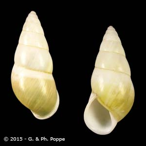 Amphidromus quadrasi f. quadrasi MATANGULE