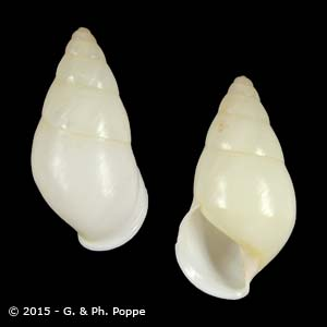 Amphidromus quadrasi f. solidus GUIMBA WHITE