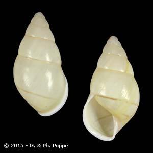 Amphidromus quadrasi f. solidus GUIMBA LINDSTEDI