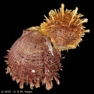 Spondylus setiger cf. CLUSTER
