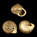 Alcadia zephyrina