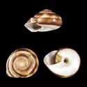 Camaena seraphinica