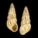 Cochlicella acuta acuta