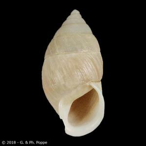 Luchuena reticulata reticulata