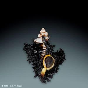 Chicoreus brunneus GIANT
