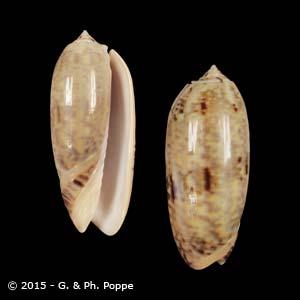 Oliva miniacea tremulina
