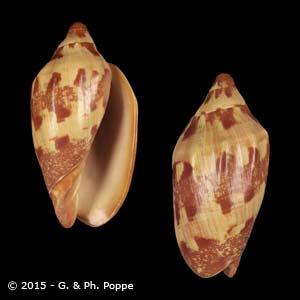 Cymbiola palawanica BALABAC FORM