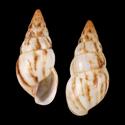 Limicolaria pallsensis cf.