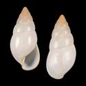 Limicolaria bassamensis